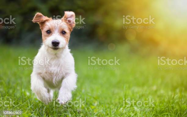 Happy pet dog puppy running in the grass picture id1053642922?b=1&k=6&m=1053642922&s=612x612&h= bc5pxl mbrlxnif6jgpnvf5jmdfkbeq54kng9nguza=