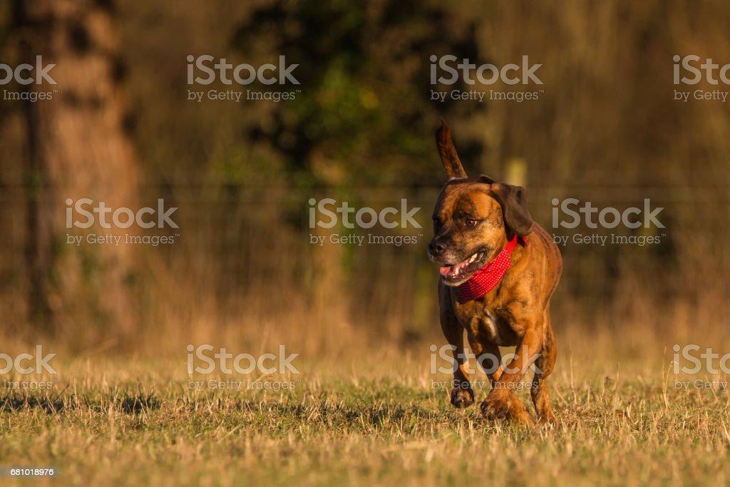 Happy Pet Dog Running With Bandana