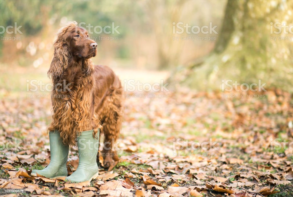 Happy pet Irish Setter dog standing in the autumn leaves and wearing...