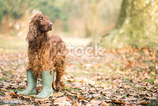 Happy pet Irish Setter dog standing in the autumn leaves and wearing boots
