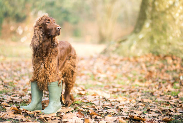 Happy pet dog standing in the autumn leaves Happy pet Irish Setter dog standing in the autumn leaves and wearing boots irish setter stock pictures, royalty-free photos & images