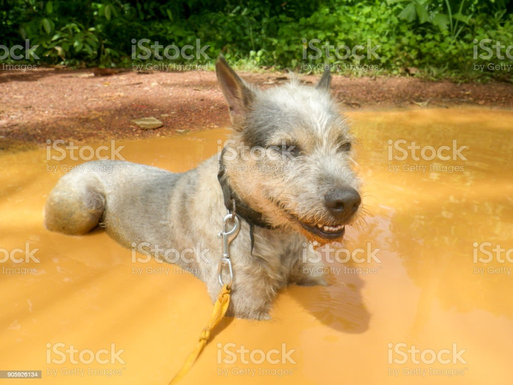 A candid image of the family pet mongrel dog. It is a hot Summer's...