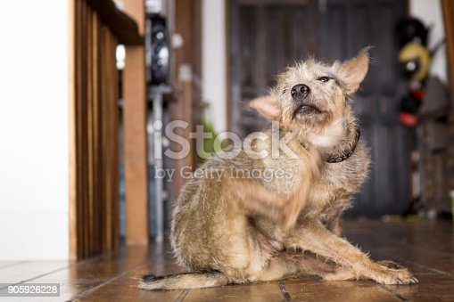 A candid image of the family pet mongrel dog.  He is scratching his chin with his hind leg.  This can be a sign a dog has parasites such as fleas or ticks.  Dogs routinely pick them up on walks and it is vital for owners to regularly give them prevention and cure treatment.  Image taken in Ko Lanta, Krabi, Thailand.