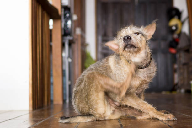 Happy pet terrier dog scratching chin with leg stock photo