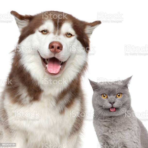 Happy pets husky dog and british cat picture id980809194?b=1&k=6&m=980809194&s=612x612&h=dlzahztrxx5of0h76lu82wwrqhgorwar3ufmi6yly08=