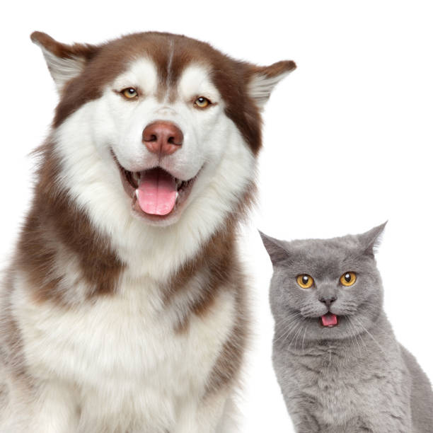 Happy pets husky dog and british cat picture id980809194?b=1&k=6&m=980809194&s=612x612&w=0&h=5hhb8q41gcidiqp1xa3ijria1vt9u wh4iuue1cvzdm=