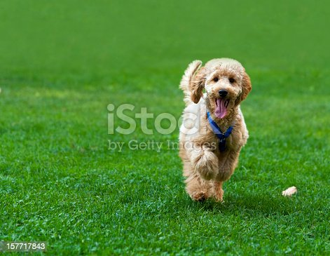 Poodle 4 months running happy in the park.