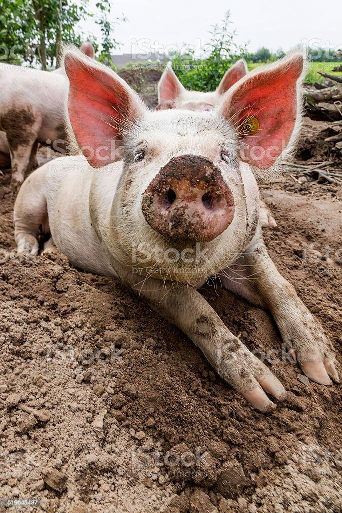 Happy Pig on Farm stock photo