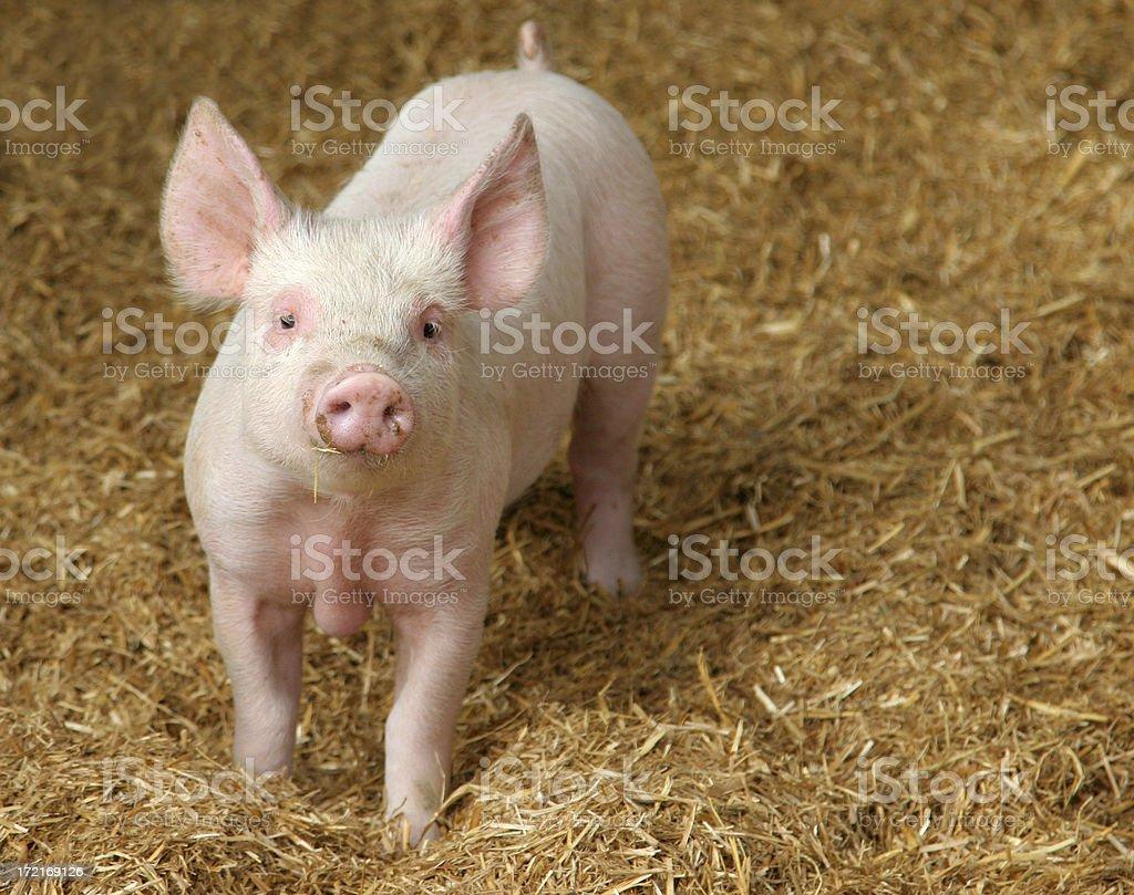 Happy Pig stock photo