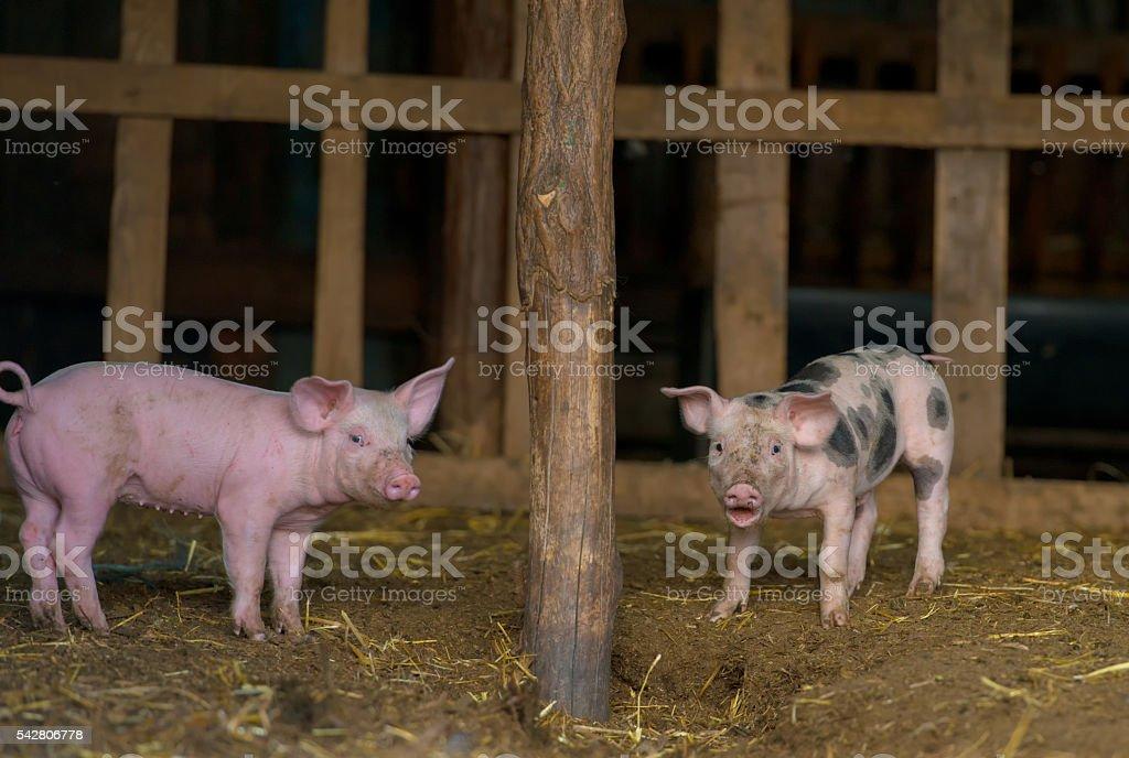 Happy piglets at farm stock photo