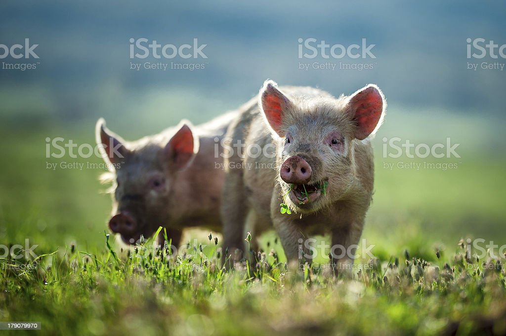 Happy piglets eat grass  stock photo