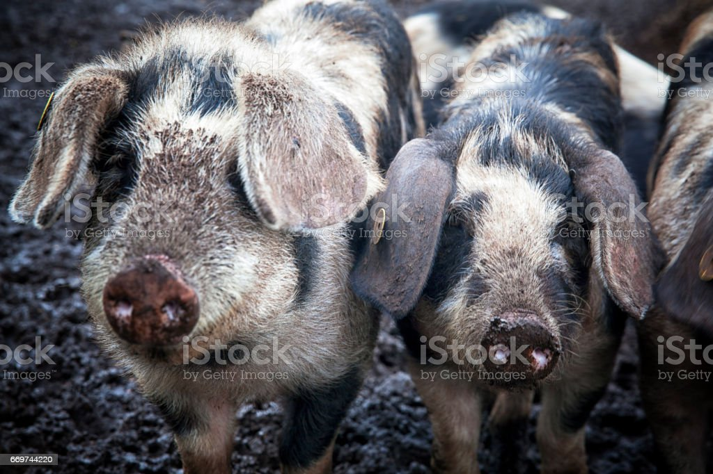 Happy piglets on an organic farm in Denmark. stock photo