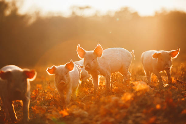 Happy piglets playing in leaves at sunset stock photo