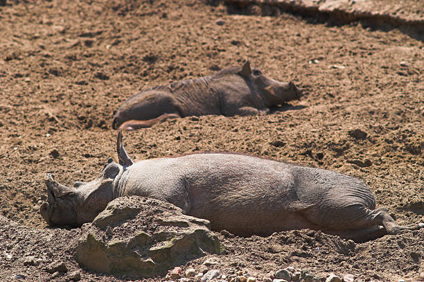 happy pigs sleeping in mud - defame stock pictures, royalty-free photos & images