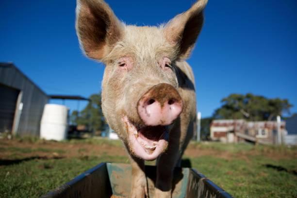 happy pink pig - scrofa foto e immagini stock