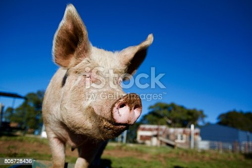 Close up of pink pig snout with blue sky on a farm with happy expression