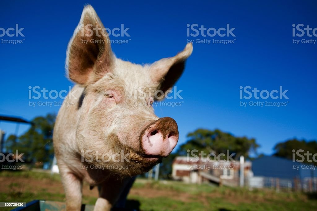 Happy pink pig snout and blue sky stock photo