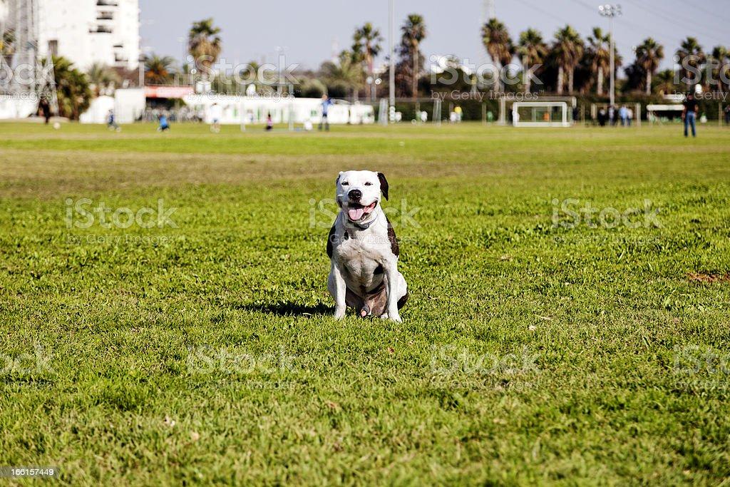 Happy Pitbull at the Park royalty-free stock photo
