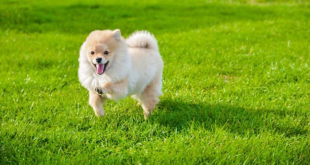 glücklich kleinspitz hund laufen im freien auf grünes grass - zwergspitz stock-fotos und bilder
