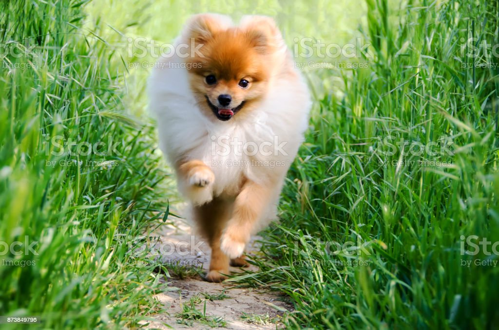 A happy Pomeranian puppy runs along a lighted sunny path in the summer garden. stock photo
