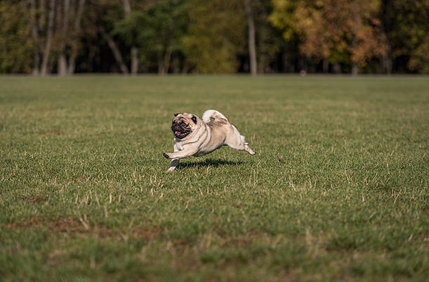 Happy Pug Dog is Running on the Grass. Open Mouth. stock photo