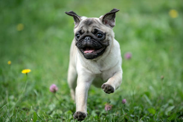 Happy Pug Dog Running on the Grass. Mouth Open. stock photo