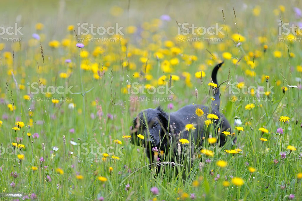 Happy puppy as Ferdinand in a field of flowers royalty-free stock photo