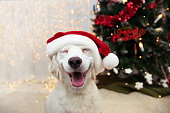 Happy puppy dog celebrating christmas with a red santa claus hat and smiling expression.