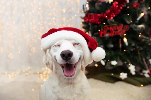 perro cachorro feliz celebrando la navidad con un sombrero rojo santa claus y expresión sonriente. - dog fotografías e imágenes de stock