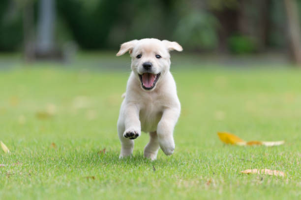 happy puppy dog running on playground green yard - labrador retriever foto e immagini stock