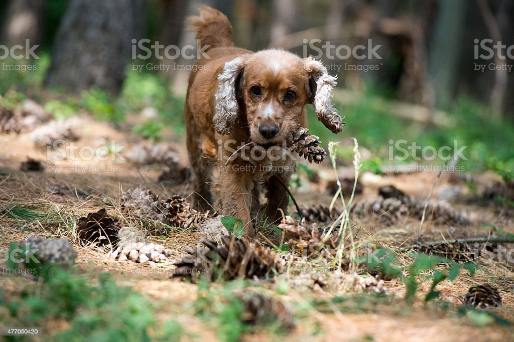 Happy Puppy Dog Running To You On The Forest Background Stock Photo