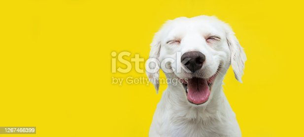 istock Happy puppy dog smiling on isolated yellow background. 1267466399