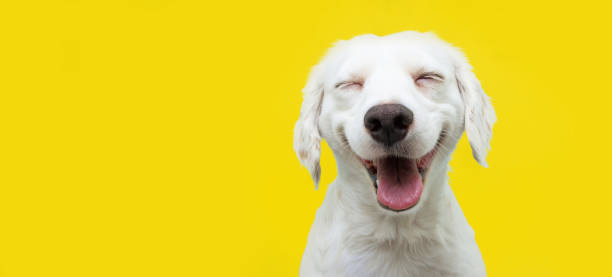 szczęśliwy szczeniak pies uśmiecha się na odizolowanym żółtym tle. - dog zdjęcia i obrazy z banku zdjęć