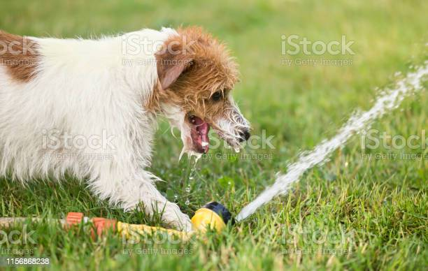 Happy puppy pet dog playing with water drinking in summer picture id1156868238?b=1&k=6&m=1156868238&s=612x612&h=6eztho8nkgoamfzksctpzj0u7f6iilpsxkkubh mfqo=