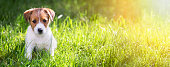 Web banner of a happy Jack Russell Terrier puppy sitting in the grass
