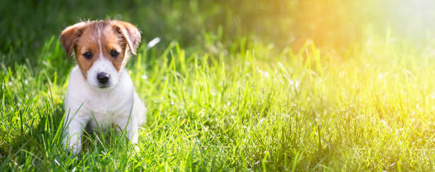 happy puppy sitting in the grass - puppy stock pictures, royalty-free photos & images