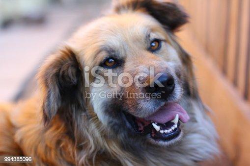 Happy red dog