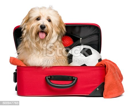 istock Happy reddish Bichon Havanese dog in a red traveling suitcase 500947763