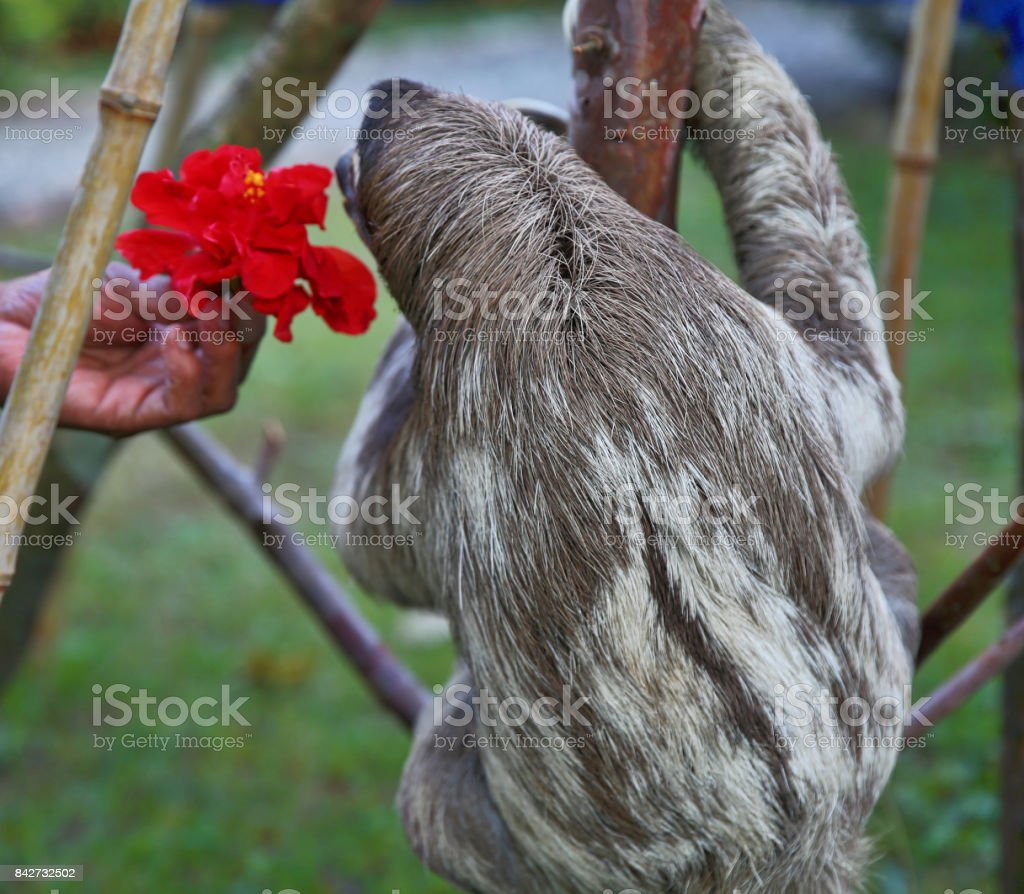 Happy Rescued Sloth Eating Hibiscus Flowers Stock Photo More