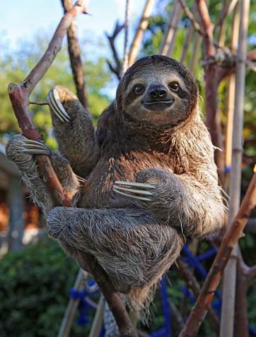 Happy rescued sloth relaxing and holding his pot belly.