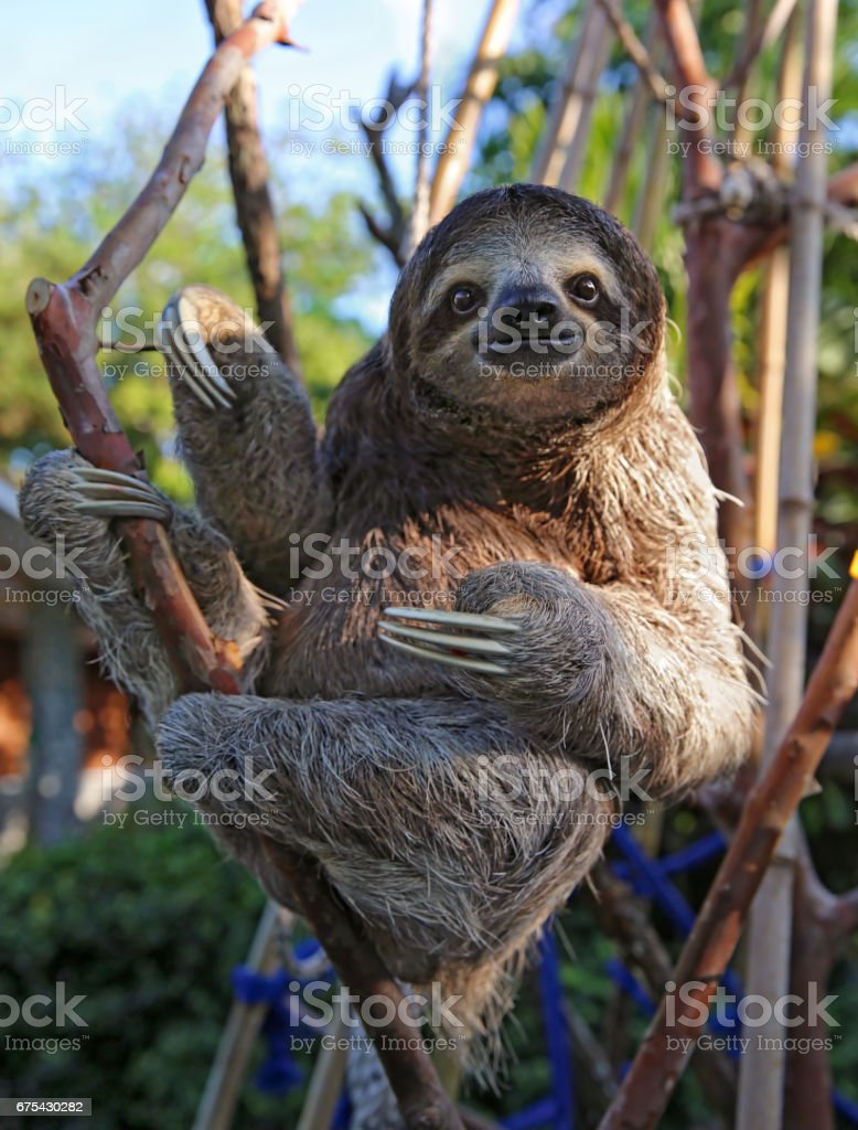 Happy, rescued Sloth stock photo