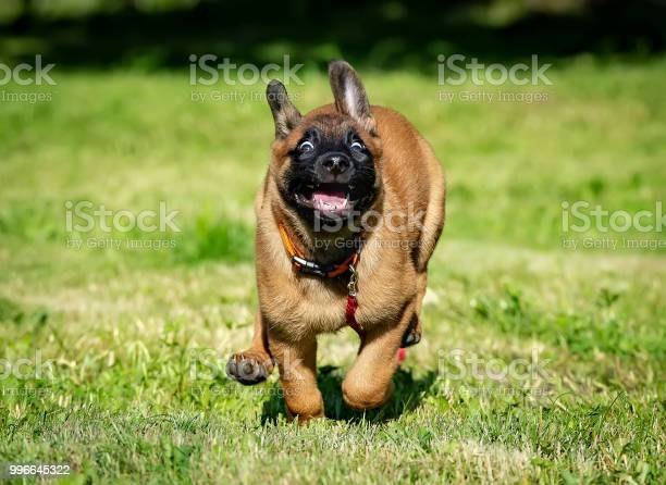 Happy running belgian malinois puppy picture id996645322?b=1&k=6&m=996645322&s=612x612&h=9l2gzot2fte0mtilcs2iyaaiuiasazeo0pfrl4gzfwo=