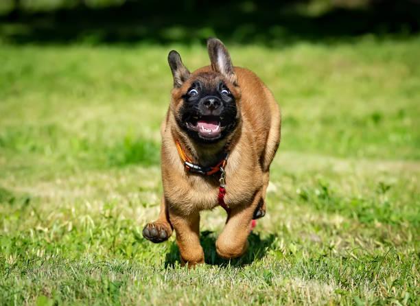 Happy running belgian malinois puppy picture id996645322?b=1&k=6&m=996645322&s=612x612&w=0&h=mwpqf8 b3ooqzcem28f bowtobylh9skx3 wbje2avg=