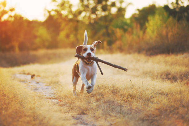 Happy running dog Happy beagle dog with stick in mouth running against beautiful nature background. Sunset scene colors beagle stock pictures, royalty-free photos & images