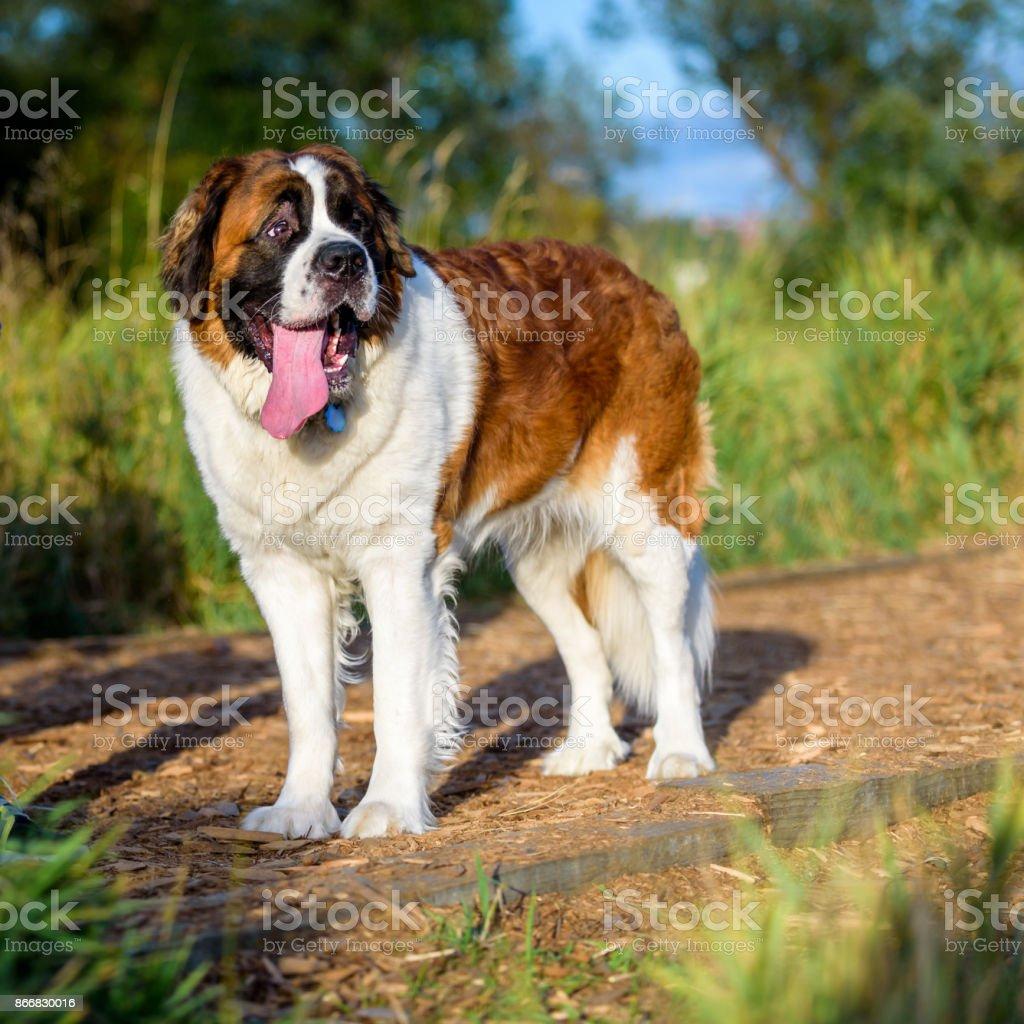 Glücklich Saint Bernard auf der Hundewiese – Foto