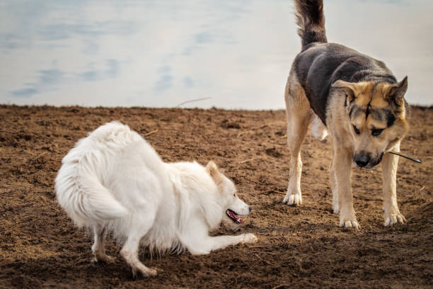 Happy samoyed dog plays with a larger friend at a dog park stock photo