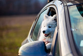 Happy samoyed puppy in a car