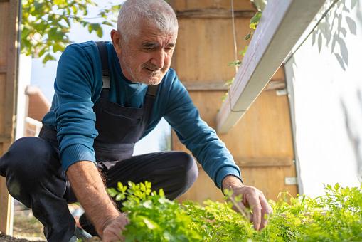 Happy senior man is picking fresh parsley at his greenhouse