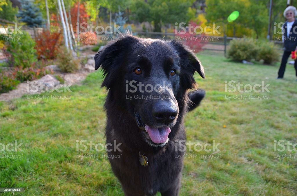Happy Shady dog in autumn yard with owner stock photo