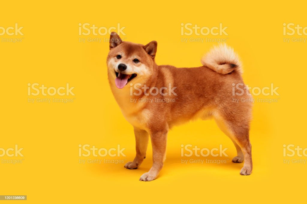 Happy Shiba Inu Dog On Yellow Redhaired Japanese Dog Smile Portrait Stock Photo Download Image Now Istock